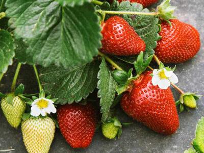 کاشت توت فرنگی در خانه