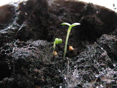 کاشت توت فرنگی در خانه چگونه است