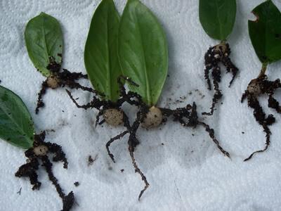تکثیر گیاه زاموفیلیا از طریق برگ