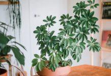 شرایط نگهداری گیاه شفلرا در خانه + روش مبارزه با بیماری ها و آفات آن